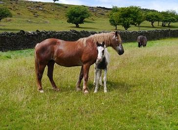 The Welsh Pit Ponies Centre